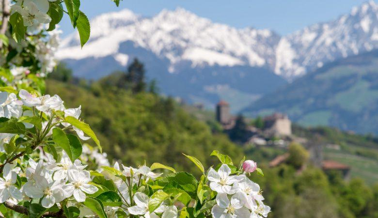 Apfelbluete um Schloss Tirol